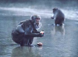 Yüzüncü Maymun Deneyi  (The Hundredth Monkey)
